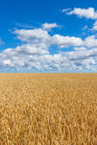 Rural landscape, wheat field under blue sky Royalty Free Stock Photography