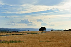 Rural landscape with wheat  fields. Sunset. Spain. Royalty Free Stock Images