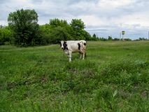 The rural landscape is the white cow  with brown spots  grazes in a meadow somewhere in Ukraine. Field with a green young spring grass, a blue sky with heavy Stock Image