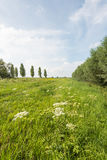 Rural landscape with white flowering common hogweed in the foreg Royalty Free Stock Images