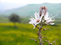 Rural landscape with white flowers Stock Image
