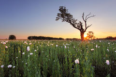 Rural landscape with white poppy and tree at sunset Stock Photos