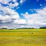 Rural Landscape With Cows Royalty Free Stock Photo