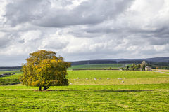 Rural landscape with yellow tree on the green field and clouds Stock Images
