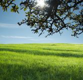 Rural landscapes. Green field and apls branch Royalty Free Stock Photos