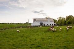 Rural Livestock Farm. Livestock farm with sheep in rural Virginia stock photography