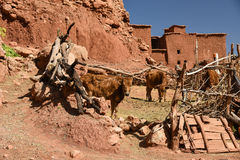Rural living in Morocco. Traditional rural farmstead with mudbrick buildings and cattle in Morocco Stock Image