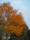 Rural Maine Scene with Orange Leaf Tree. A brilliantly orange autumn tree showing the best of fall colors in rural Maine royalty free stock images