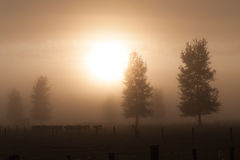 Rural morning fog. Herd of cows in the  morning fog Stock Photos