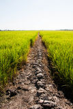 Rural Mud road through green rice fields Stock Photography