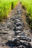 Rural Mud road through green rice fields Royalty Free Stock Image