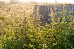 Thickets of nettle in the backlight dawn sun on the background o. Rural natural landscape. Thickets of nettle in the backlight dawn sun on the background of the Stock Image