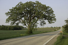 Rural Oak Tree Road. A large, lone Bur Oak tree stand between a wheat field and country road Stock Photo