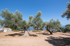 Rural olive trees in a seaside farm with Mediterranean ocean vie Royalty Free Stock Photos