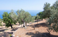 Rural olive trees in a seaside farm with Mediterranean ocean vie Stock Photography