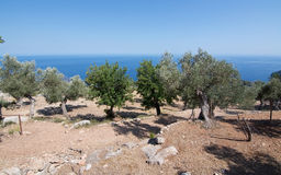 Rural olive trees in a seaside farm with Mediterranean ocean vie Stock Image