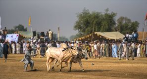 Rural Pakistan, the thrill and pageantry bull race. Royalty Free Stock Photo