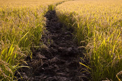 Rural path through paddy field Stock Image