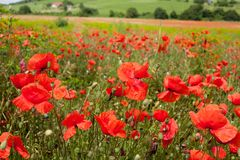 Rural poppy field. In a meadow Royalty Free Stock Image