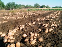 Rural potatoes on the field stock images