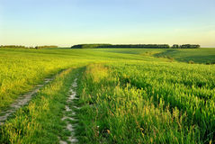 Rural road across the field. Of wheat Stock Photos