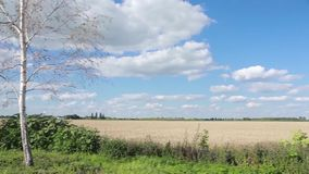 Rural road with birches along summer field.  stock footage