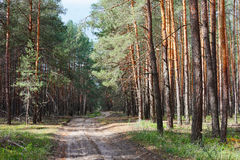 Rural road in coniferous forest thicket. Sunny day Stock Image