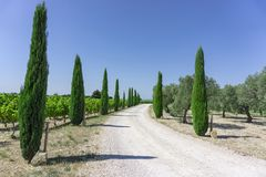 Rural road entry to vineyard and olive oil trees organic farmland, evergreen pine trees on both side under vivid blue sky royalty free stock photo