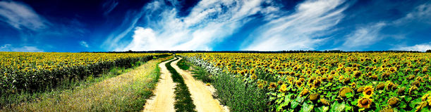 Rural road and field of sunflowers. Stock Photo