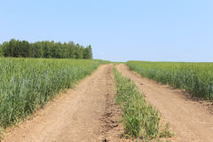 Rural road in field with wheat Royalty Free Stock Photo