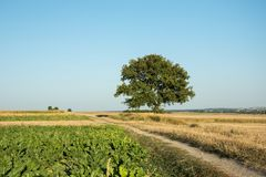 Rural road through fields, large green leafy tree on the horizon royalty free stock photos