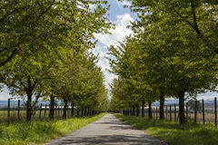 Rural road lined with leafy green trees Royalty Free Stock Images
