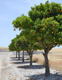 Rural road lined with orange trees with fruits Royalty Free Stock Photos