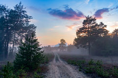 Rural road in misty pine forest Royalty Free Stock Images