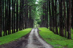 Rural road in pine forest Stock Photos