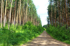 Rural road in a pine forest Stock Photography