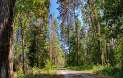 Rural road and a pine forest Royalty Free Stock Photos