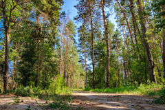 Rural road and a pine forest Stock Photo