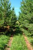 Rural road in pine woods Stock Photos