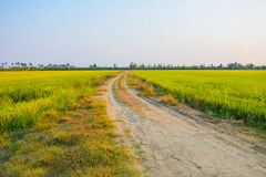 Rural road and rice farm Stock Image
