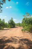 Rural road through row of trees in country side Royalty Free Stock Photo