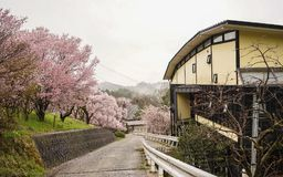 Rural road with small house in spring. Rural road with small house and sakura trees in spring time Royalty Free Stock Photo