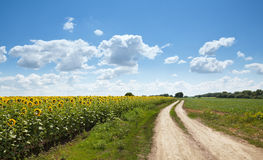 Rural road at sunflowers field Royalty Free Stock Photo