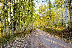 Rural road with tall yellow and green aspen during foliage season Stock Image