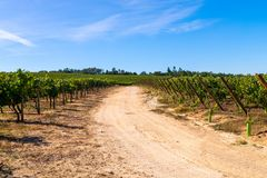 Rural road at vineyard. Country road in Vineyard with rows of grapes.  stock images