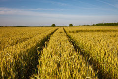 Rural road through a wheat field Royalty Free Stock Photography