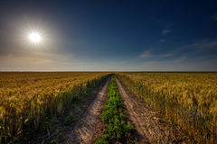 Rural road through wheat field Royalty Free Stock Photo