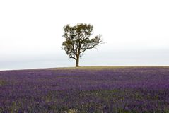 Rural Scene. A single Eucalyptus tree, amidst the purple flowers of the noxious weed, Patterson's Curse, on farmland in South Western New South Wales, Australia Stock Photo