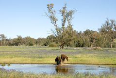 Rural Scene. Two horses splashing around in a dam, on a farm, in South-Western New South Wales, Australia Royalty Free Stock Photography