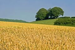 Rural Scene. Scenic view of ripe wheat field, rural uk stock images